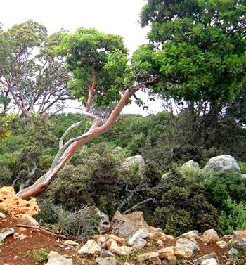 Koumarodasos forest